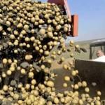 Воронежская область на 1 месте по производству картофеля